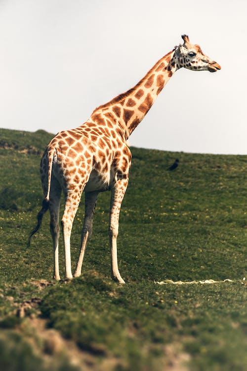 棕色和白色长颈鹿在绿色草地上