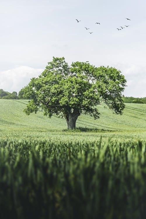 孤單, 樹, 田 的 免费素材图片