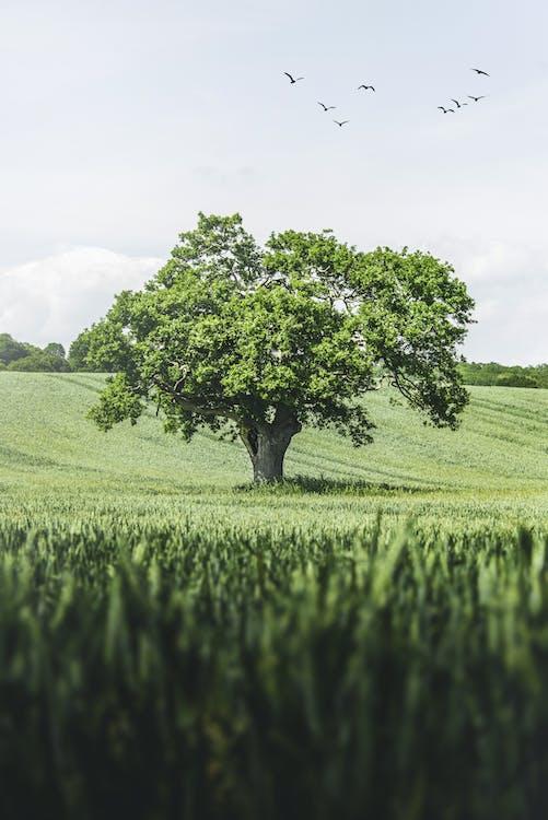 Immagine gratuita di albero, campo, solitario
