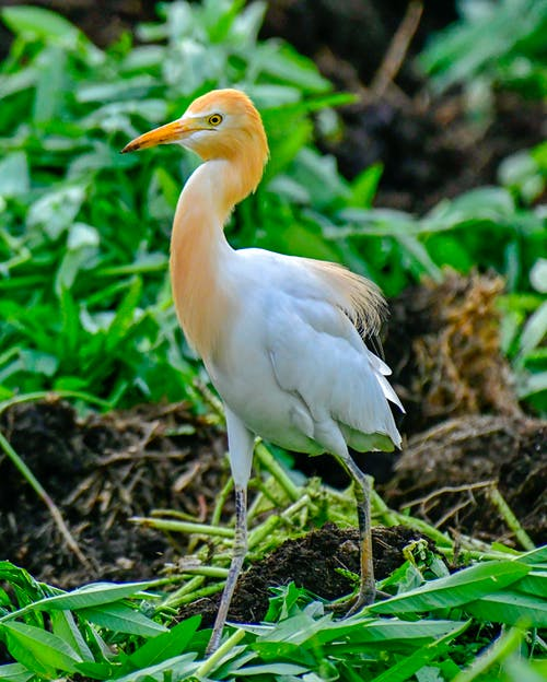 Cattle egret in forest in daylight