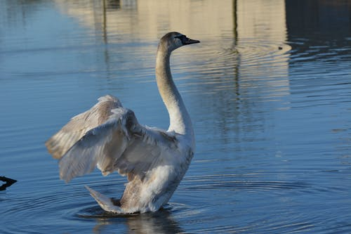 Free stock photo of swan, white swan, wings, young animal