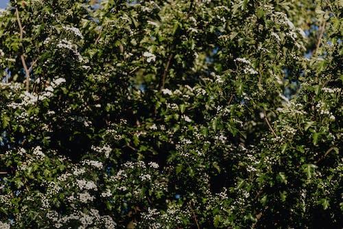 Immagine gratuita di albero, aroma, bocciolo, botanica