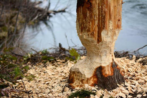 Free stock photo of beaver, gnawed, nature, tree