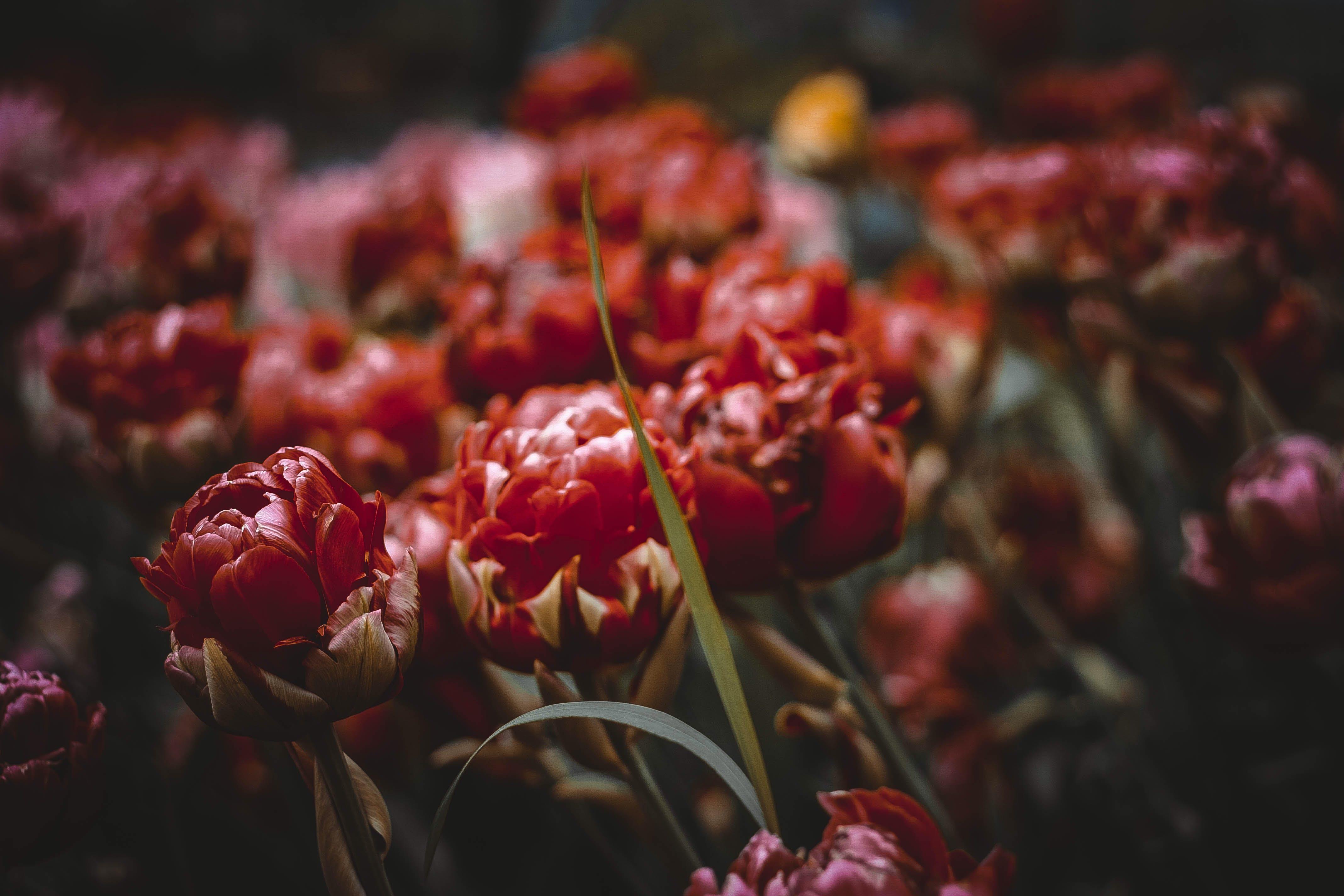 Free stock photo of flower, nature, tulips