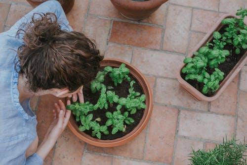 Ingyenes stockfotó bazsalikom, cserepek, cserepes növények témában