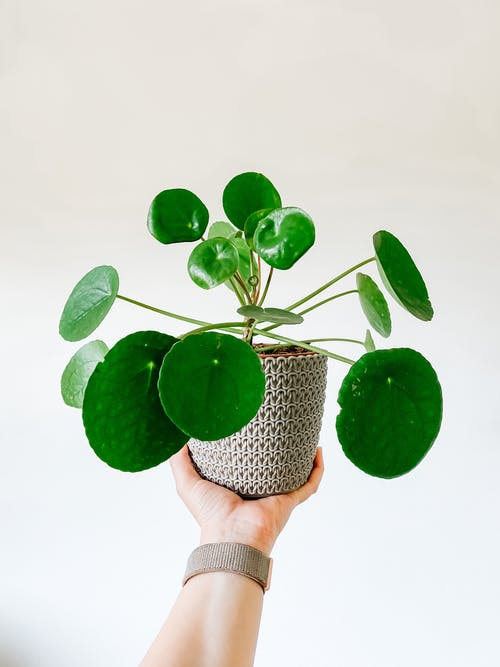 Person showing beautiful houseplant at camera