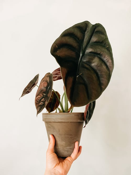Unrecognizable person with houseplant