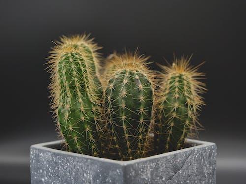Green Cactus Plant in Black Pot
