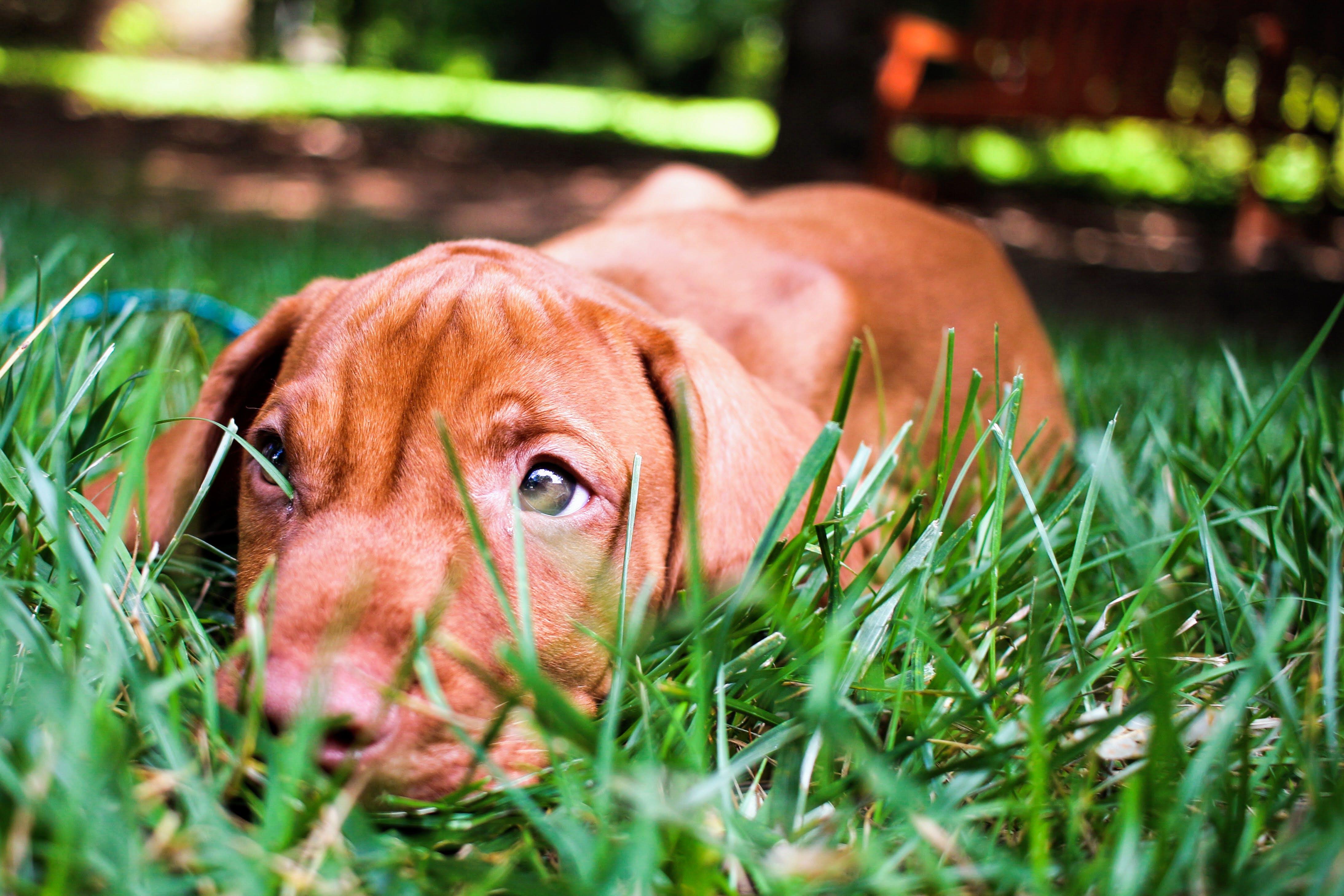 dog, grass, puppy