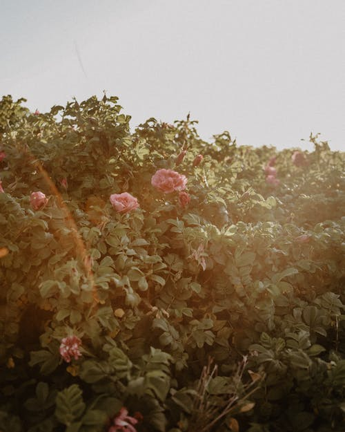 Free stock photo of beautiful flowers, blooming flowers, pink roses