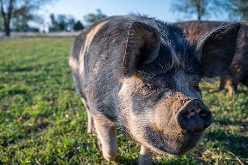 Pigs standing in grassy field