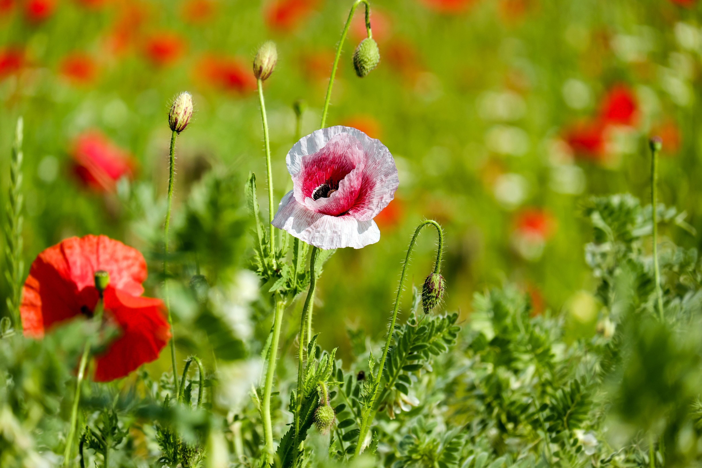 1000 Engaging Poppy Flower Photos Pexels Free Stock Photos