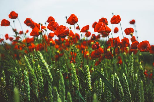 1000 interesting poppy flowers photos pexels free stock photos free stock photo of field flowers blur bloom mightylinksfo Image collections