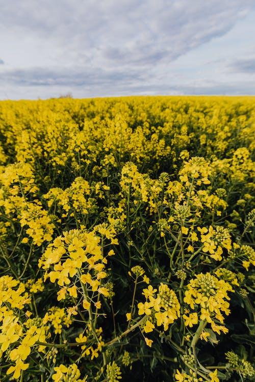 Vast field of yellow rapeseed flowers