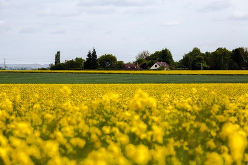 Free stock photo of country field, country land, field, gold field