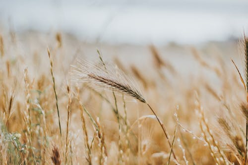 Brown Wheat Field