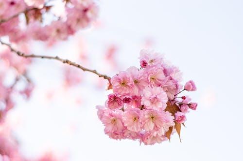 Sakura with pink flowers on sprig