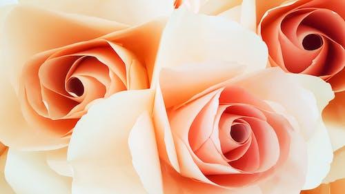 微妙, 成長, 植物群, 玫瑰 的 免费素材照片