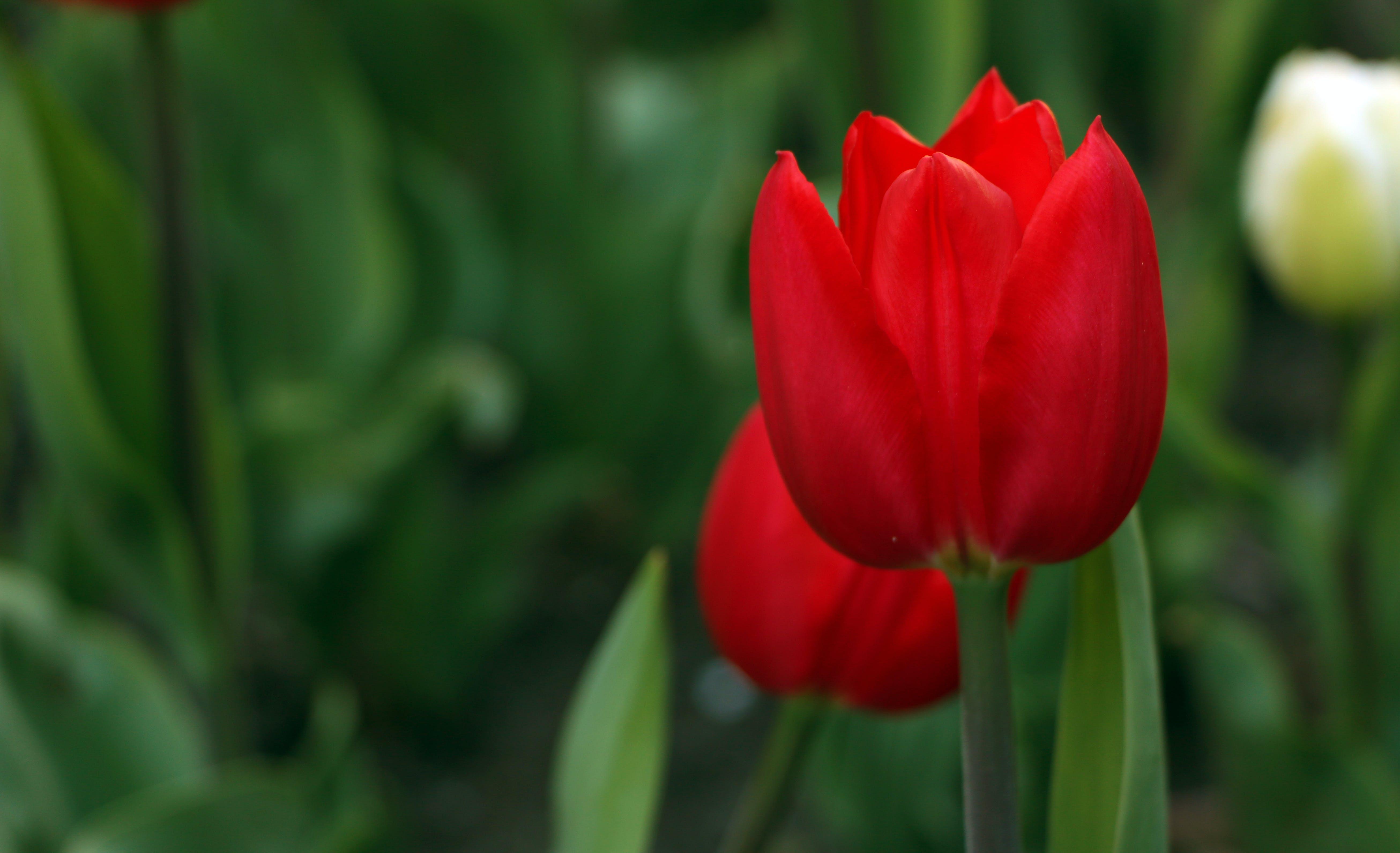 대자연, 빨간 튤립, 아름다운 꽃, 아름다움의 무료 스톡 사진