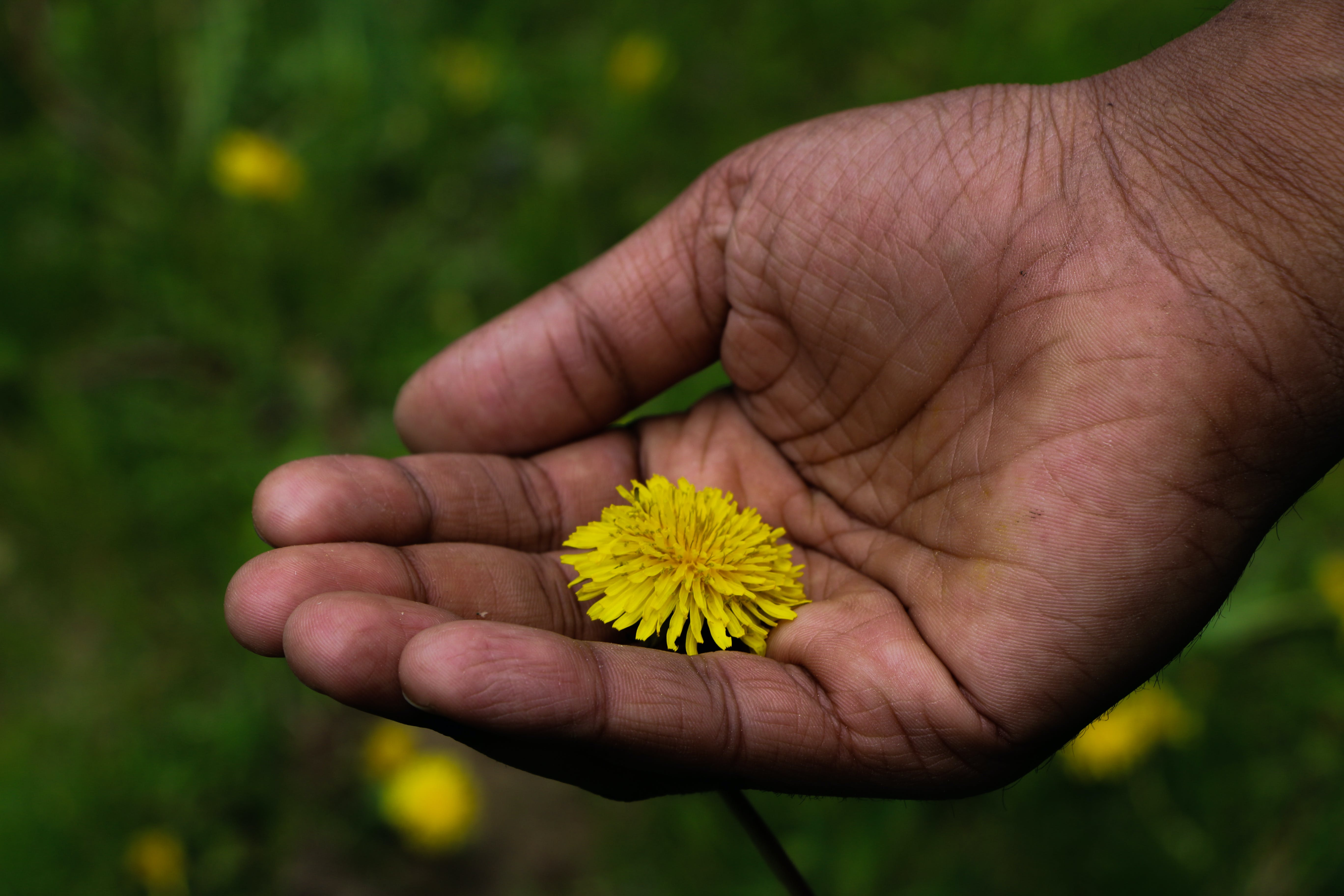 Free stock photo of beautiful flowers, canada, care, flower in hands