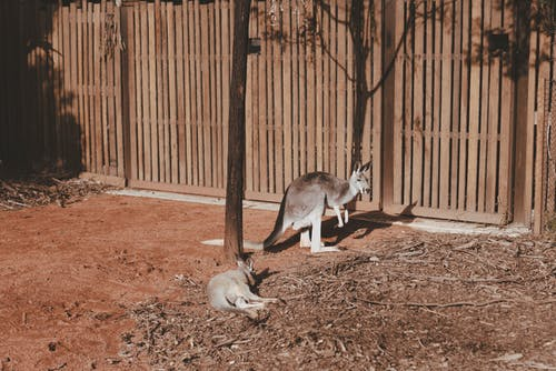Photo of Kangaroos