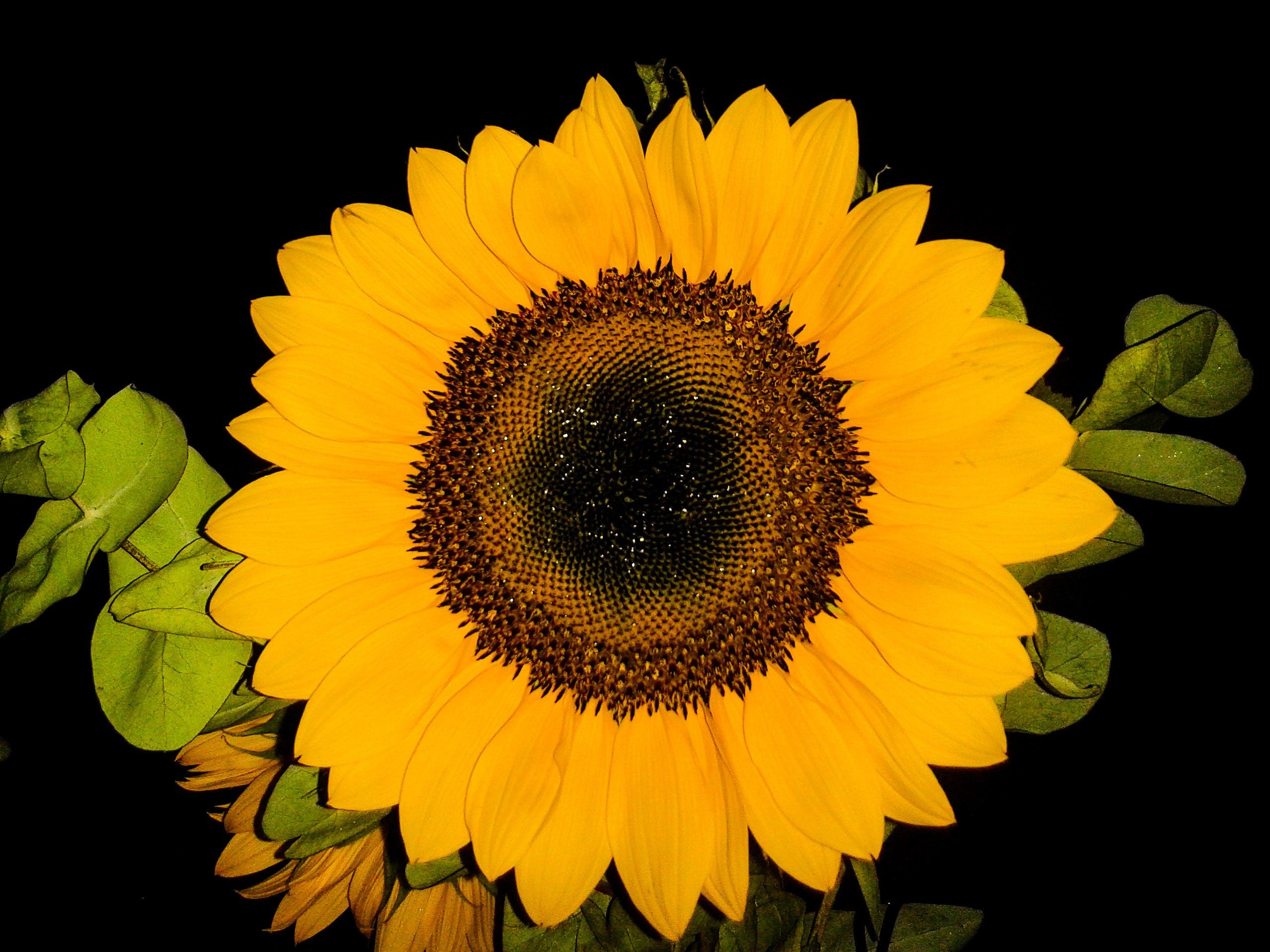 Free stock photo of beautiful flowers, flower, sunflower, yellow flower