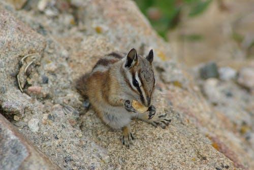 Darmowe zdjęcie z galerii z ziemna wiewiórka