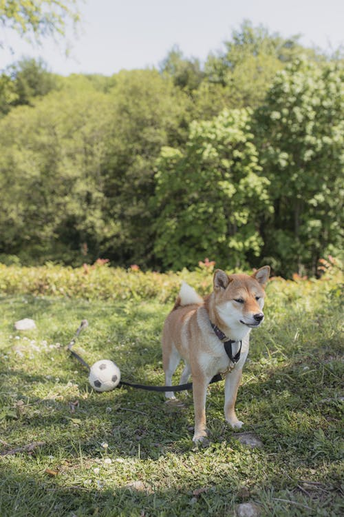 Kostenloses Stock Foto zu brauner hund, canidae, draußen, flacher fokus
