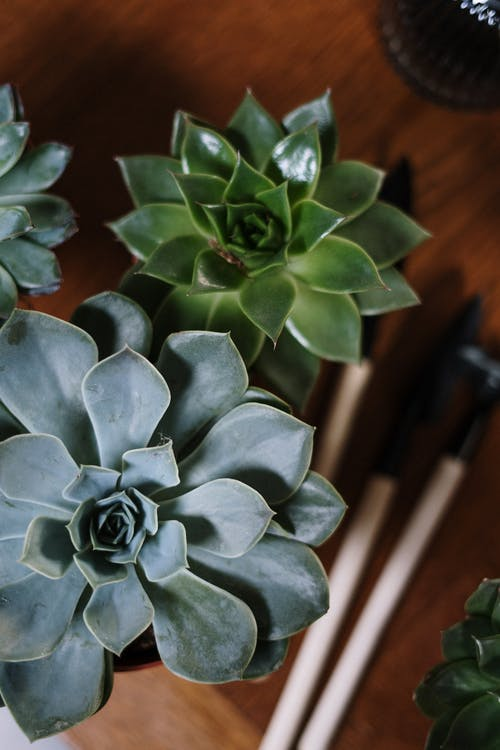Green Succulent Plants in Pot