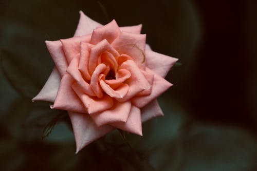 Pink Rose in Bloom Close-Up Photography
