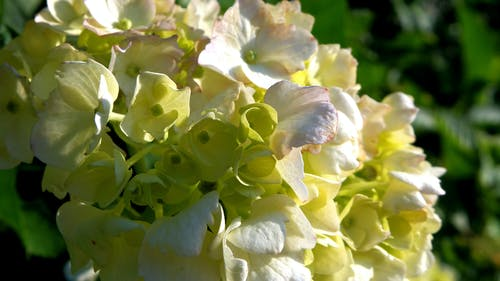 Free stock photo of hydrangea, white