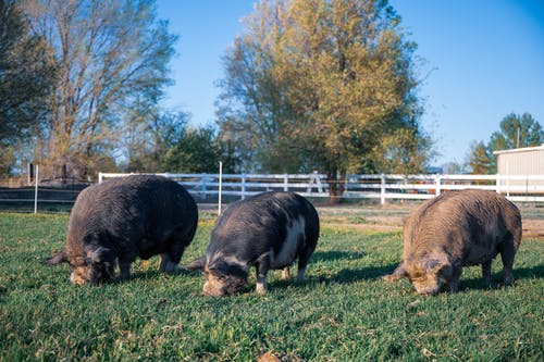 Big pigs feeding on grass lawn behind fence and trees under blue sky in summer