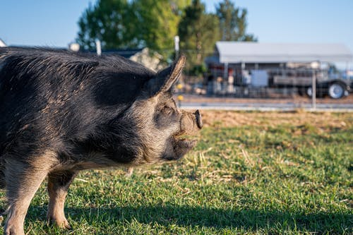 Pig standing on green meadow in summer