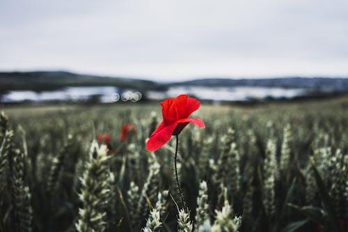 ケシの花, デスクトップの壁紙, デスクトップの背景, トウモロコシ畑の無料の写真素材