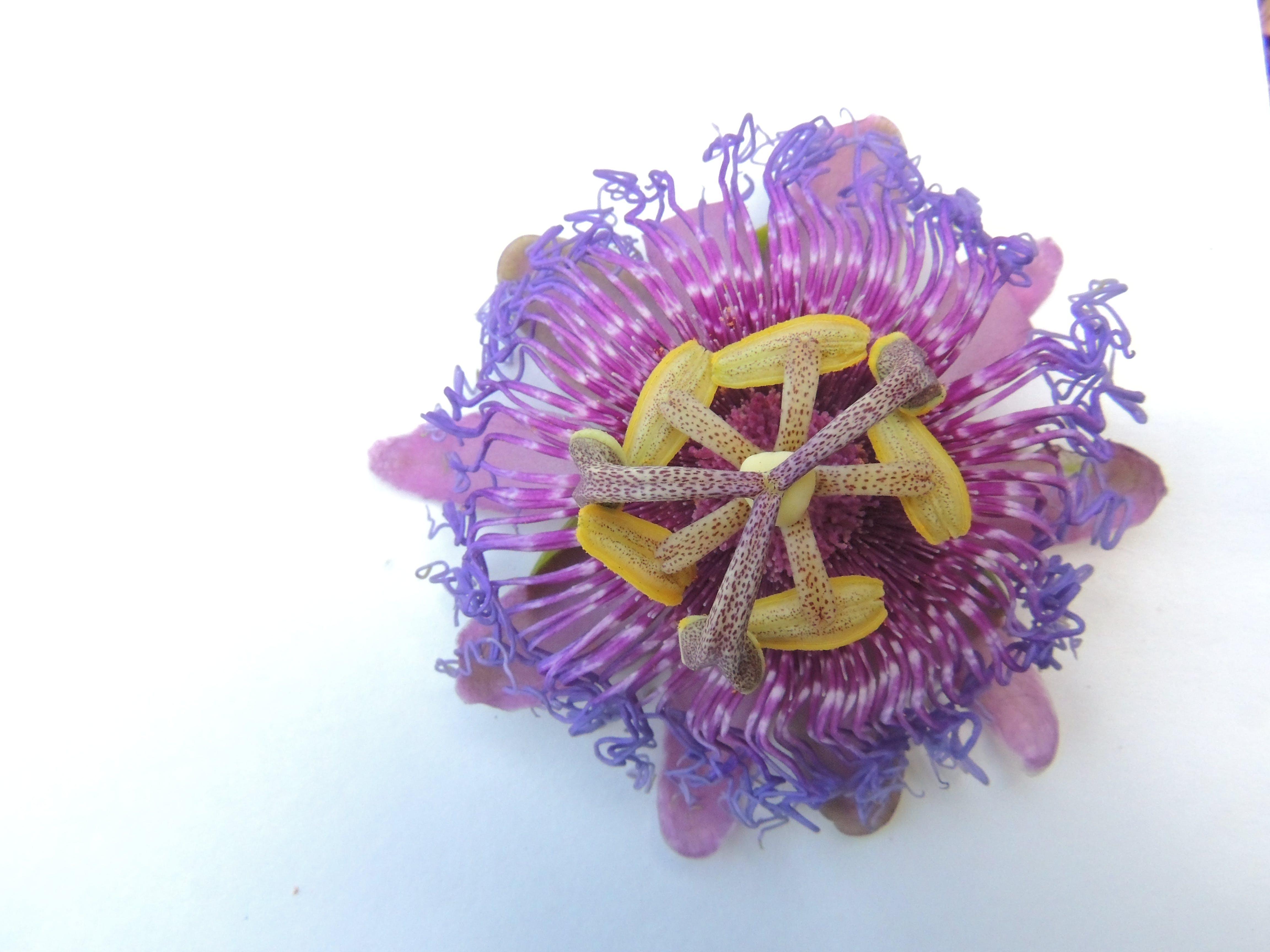 Free stock photo of blue flowers, flower, lavender, purple