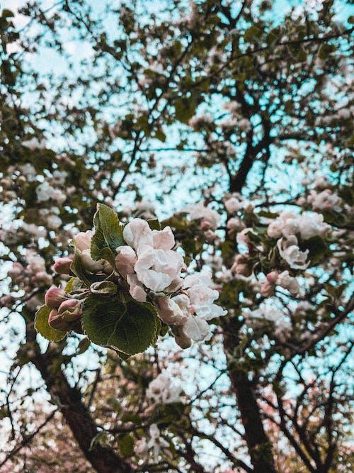 Základová fotografie zdarma na téma apple, barva, flóra, jablko