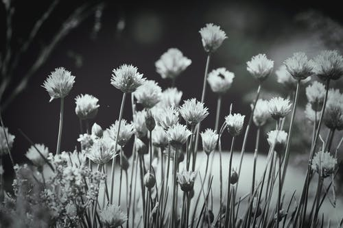 Free stock photo of black and white, flowers
