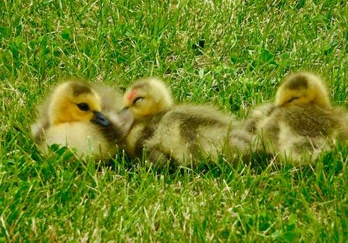 คลังภาพถ่ายฟรี ของ ทารกห่านตัวน้อย, ทารกแรกเกิดที่พักผ่อน goslings