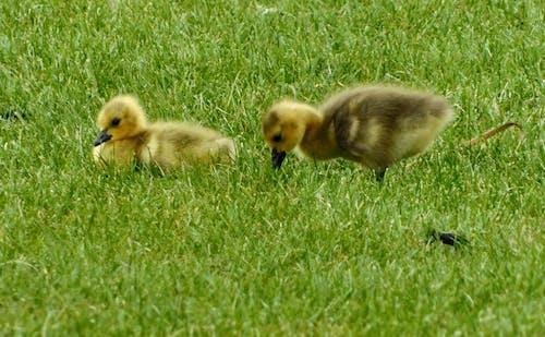 คลังภาพถ่ายฟรี ของ 2020, ฤดูใบไม้ผลิ, ลูกห่านกำลังแทะเล็มหญ้า, สปริง