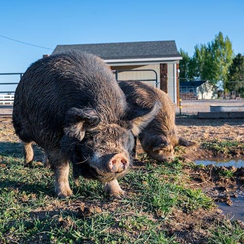 Kostnadsfri bild av bondgård, boskap, däggdjur, djur