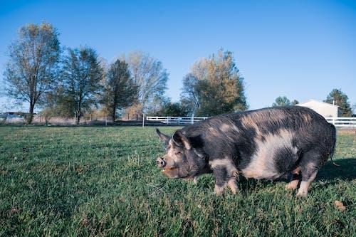 乾草地, 乾草田, 動物, 哺乳動物 的 免费素材照片
