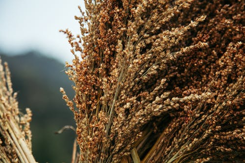 Dry cereal spikelets in sunny countryside