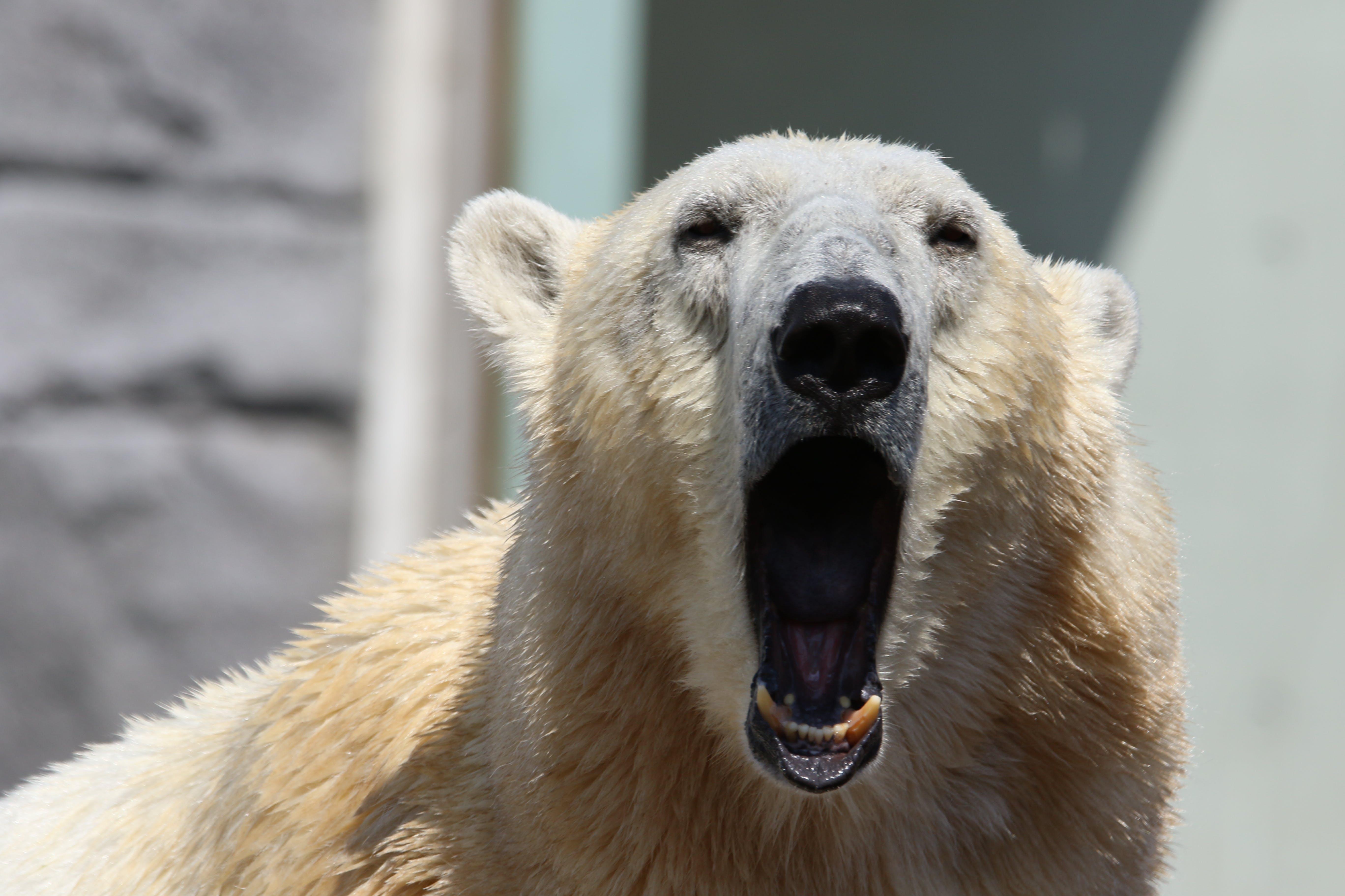 Polar Bear Howling to the Camera