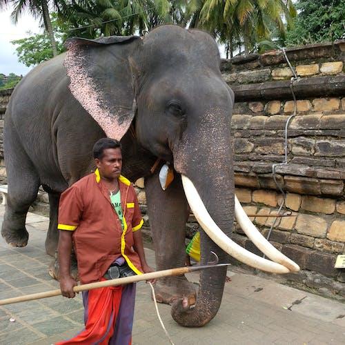 Free stock photo of elephant tusks