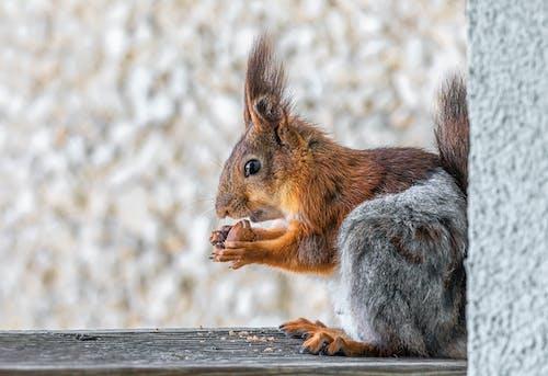 sciurus vulgaris, 一隻動物, 動物 的 免費圖庫相片