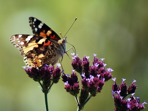 Close-Up Photo of Brown Butterfly on Purple Flowers