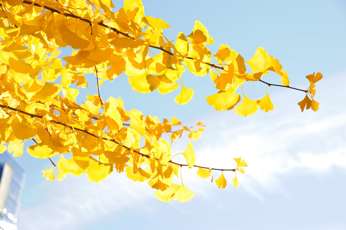 Free stock photo of ginkgo, japan, nature