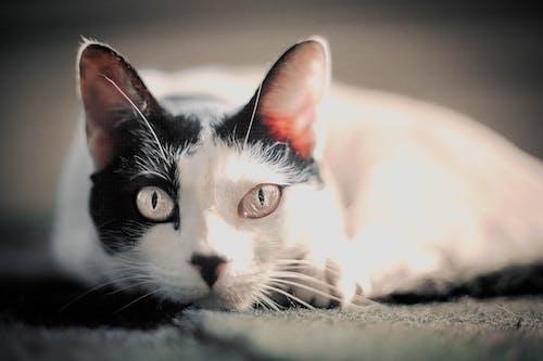 가정의, 고양이, 고양이 눈, 귀여운의 무료 스톡 사진