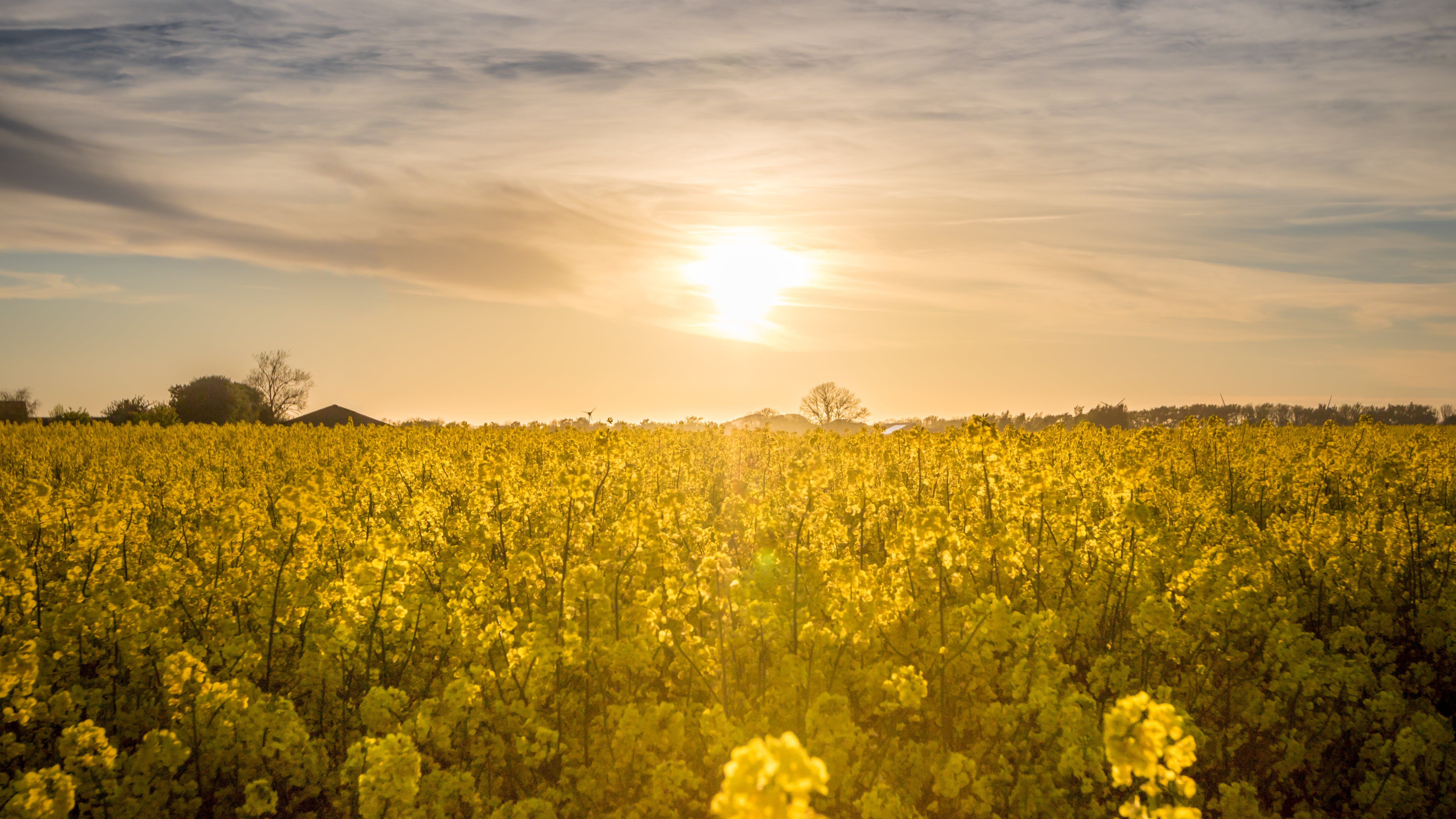 Yellow Flower Field during Yellow Sunset