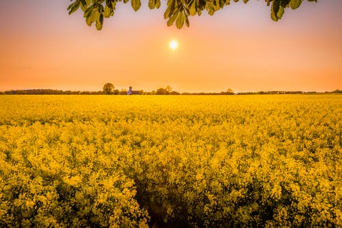 Yellow Petaled Flower Field